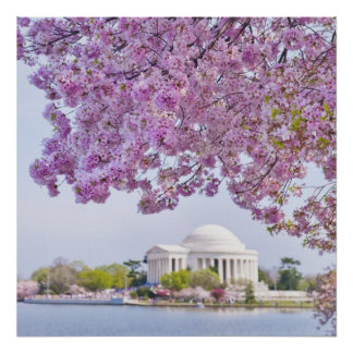 USA, Washington DC, Cherry tree in bloom Poster