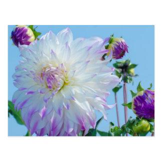 USA, Washington. Detail Of Dahlia Flowers Postcard