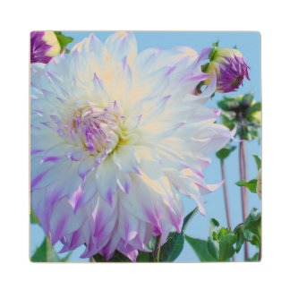 USA, Washington. Detail Of Dahlia Flowers Wood Coaster