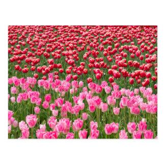 USA, Washington. Field Of Multicolored Tulips Postcard