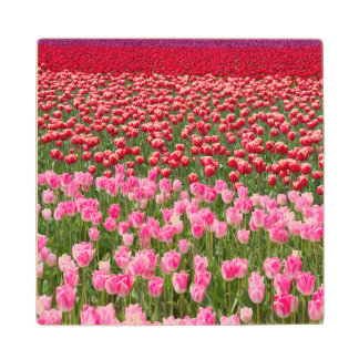 USA, Washington. Field Of Multicolored Tulips Wood Coaster