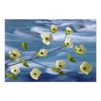 USA, Washington, Hood Canal. Pacific dogwood Photo Print