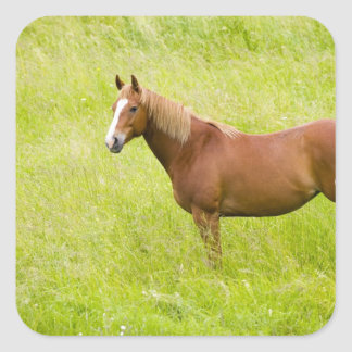 USA, Washington, Horse in Spring Field, 2 Square Sticker