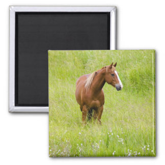 USA, Washington, Horse in Spring Field, Magnet