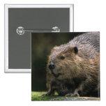 USA, Washington, Northwest Trek. Beaver 15 Cm Square Badge
