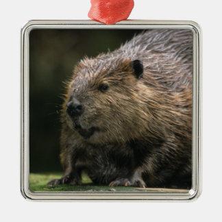 USA, Washington, Northwest Trek. Beaver Silver-Colored Square Decoration