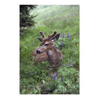 USA, Washington, Olympic National Park. Deer Art Photo