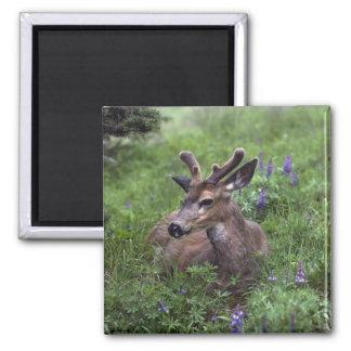USA, Washington, Olympic National Park. Deer Magnet