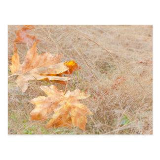 USA, Washington, Quinault. Maple Leaves Postcard