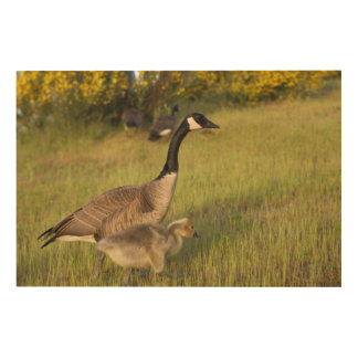 USA, Washington, Seattle. Canada Goose Wood Print