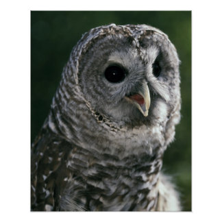 USA, Washington State. Barred Owl (Strix varia) Poster