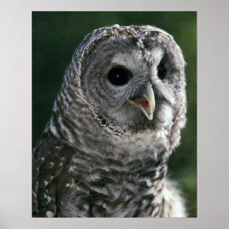 USA, Washington State. Barred Owl (Strix varia) Poster