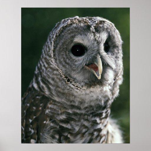 USA, Washington State. Barred Owl (Strix varia) Print
