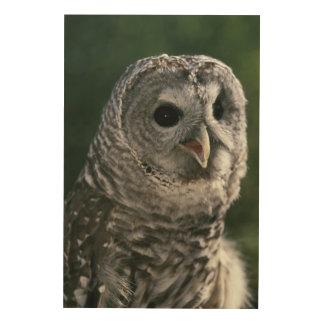USA, Washington State. Barred Owl (Strix varia) Wood Canvas