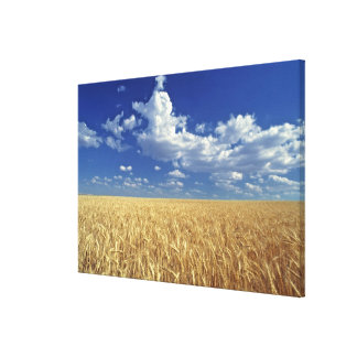 USA, Washington State, Colfax. Ripe wheat Canvas Print