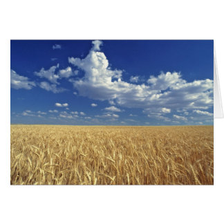 USA, Washington State, Colfax. Ripe wheat Card