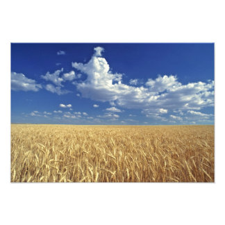 USA, Washington State, Colfax. Ripe wheat Photo Print
