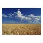 USA, Washington State, Colfax. Ripe wheat Posters