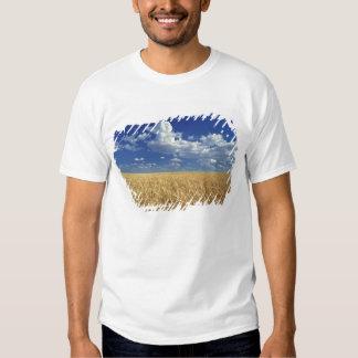 USA, Washington State, Colfax. Ripe wheat Tees