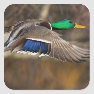 USA, Washington State, Mallard, male, flight. Square Sticker