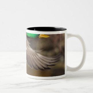 USA, Washington State, Mallard, male, flight. Two-Tone Coffee Mug
