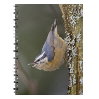 USA, Washington State, Red-brested Nuthatch, Notebook