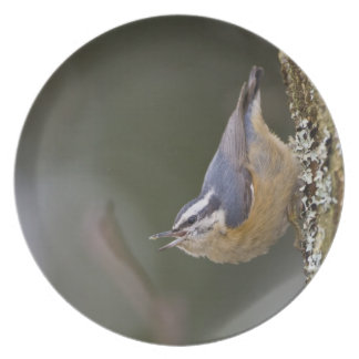 USA, Washington State, Red-brested Nuthatch, Plate