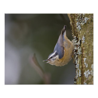 USA, Washington State, Red-brested Nuthatch, Poster