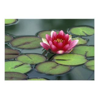 USA, Washington State, Seattle. Water lily and Photo Print
