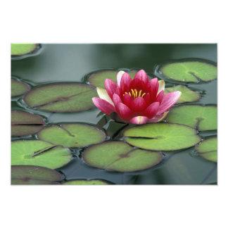 USA, Washington State, Seattle. Water lily and Photo Print