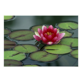 USA, Washington State, Seattle. Water lily and Poster