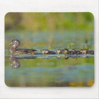 USA, Washington State, Wood Duck,female, Mouse Mat