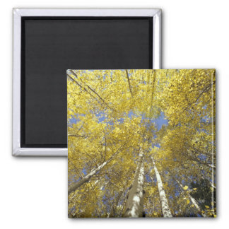 USA, Washington, Stevens Pass Fall-colored aspen Square Magnet