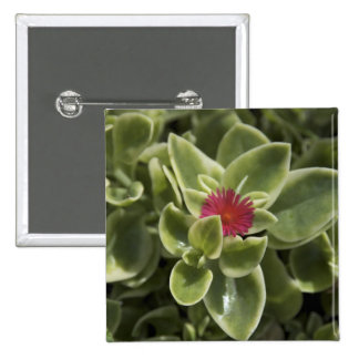 USA, Washington, Woodinville, Sedum flower Button