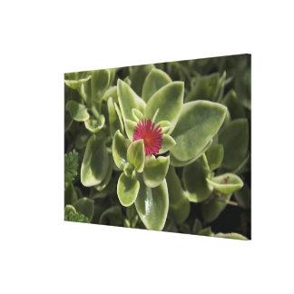 USA, Washington, Woodinville, Sedum flower Canvas Print