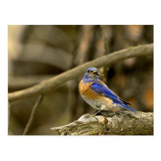 USA, Washington, Yakima. Male western bluebird Postcard