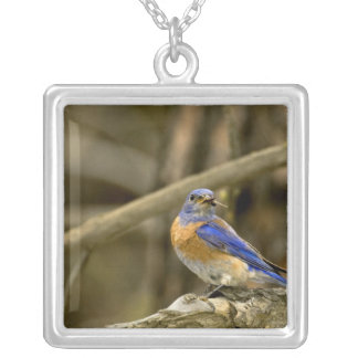 USA, Washington, Yakima. Male western bluebird Silver Plated Necklace