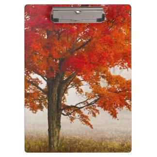 USA, West Virginia, Davis. Red maple in autumn Clipboard