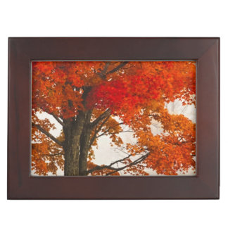 USA, West Virginia, Davis. Red maple in autumn Keepsake Box