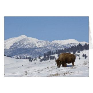 USA, WY, Yellowstone NP, American Bison Bison Card