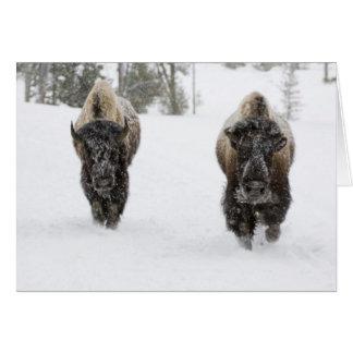 USA, WY, Yellowstone NP, American Bison (Bison Greeting Card
