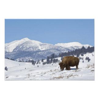USA WY Yellowstone NP American Bison Bison Photograph