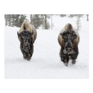 USA, WY, Yellowstone NP, American Bison (Bison Postcard