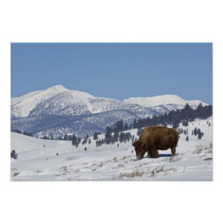 USA, WY, Yellowstone NP, American Bison Bison Poster