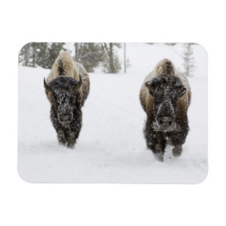 USA, WY, Yellowstone NP, American Bison (Bison Rectangular Photo Magnet