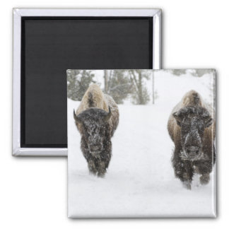 USA, WY, Yellowstone NP, American Bison (Bison Square Magnet