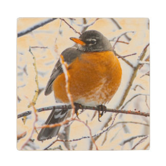 USA, Wyoming, American Robin roosting on willow Wood Coaster