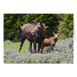 USA, Wyoming, Bighorn Mountains, moose Alces Card