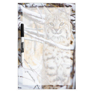 USA, Wyoming, Bobcat sitting in snow-covered Dry Erase Board