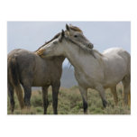 USA, Wyoming, Carbon County. Wild horses 2 Post Cards